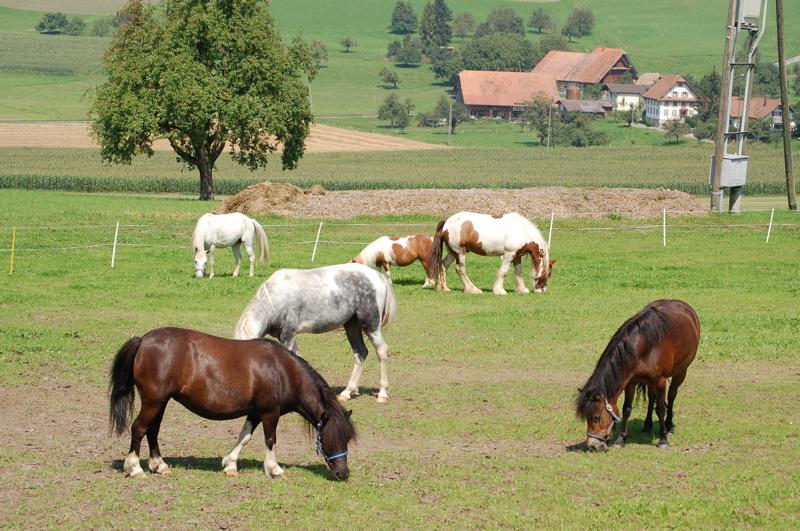Ponys fressen nach der Arbeit
